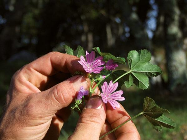 plantes-comestibles-medicinalesconservatoire-du-freinet
