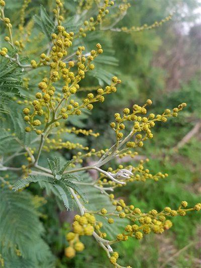 0120-haiku-mimosa-petite