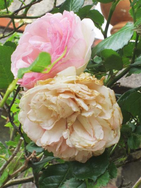 haiku-rosier