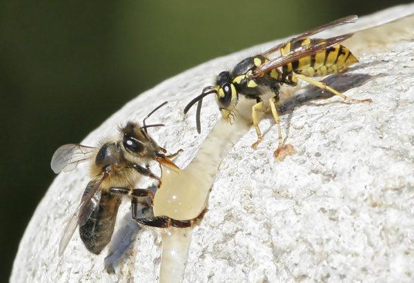 abeille-guepe-patrickfanchon